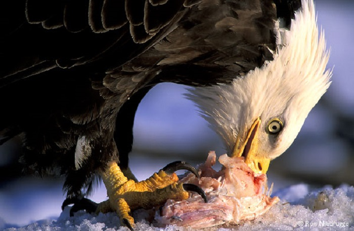 what do eagles eat