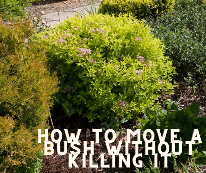how to move a bush without killing it
